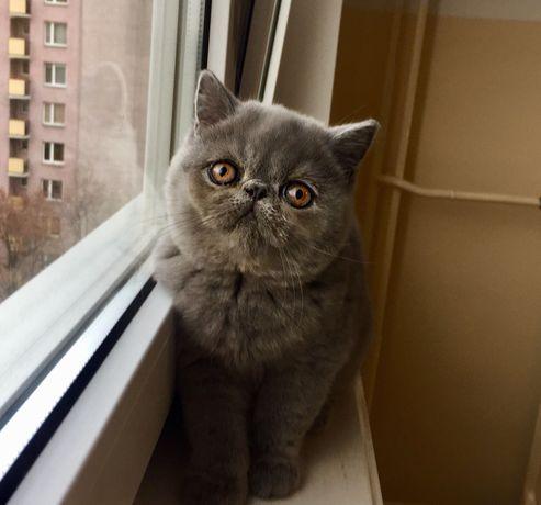 Niebieskie kotki w typie misia rasy kot egzotyczny