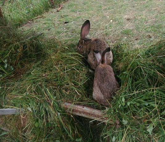 Кролики велікан+шеншила