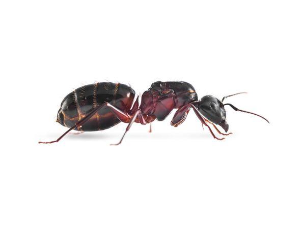 Mrówki bardzo niska cena za mrowki! ligniperda manica herculeanus itp!