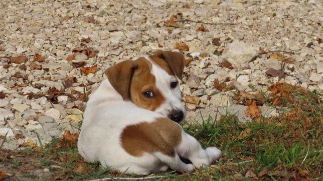 Jack Russell Terrier/BREFIO  gładkowłosy piesek do odbioru