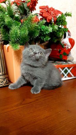 Прямоухий шотландский котёнок