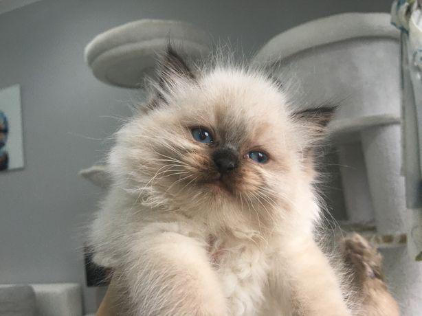 Ragdoll - rezerwacja puchatych kociaków FPL/FIFE