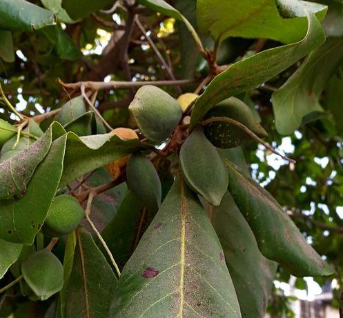 Терминалия катаппа -семена.( Terminalia catappa)