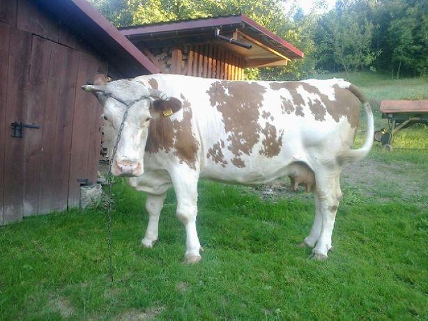 Sprzedam krowę spokojna