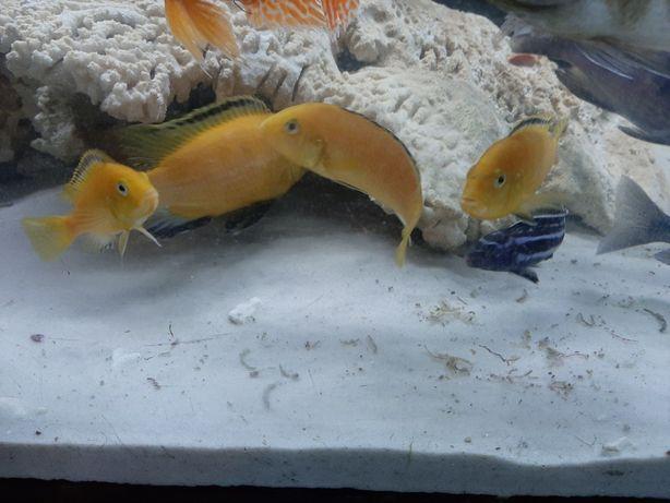 Pyszczaki Yellow labidochromis caeruleus malawi