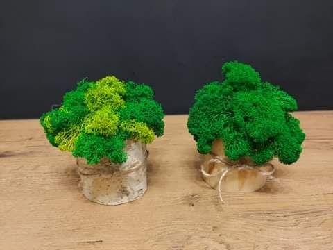 Chrobotkowe grzybki w brzozowych pieńkach. Wołomin - image 1