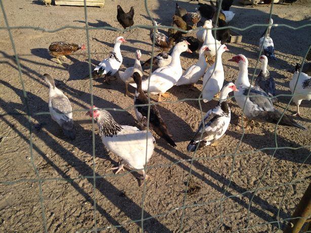Patos caseiros criados a campo