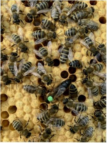 Карпатка Матка-Пчеломатка-Бджоломатка.! Акція! 2021-2021. Плідная.