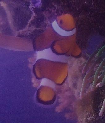 Sprzedam Błazenka- Nemo