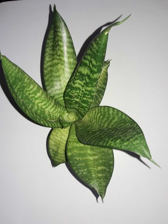 Сансевьерия сансевиера санса цветок комнатный хани