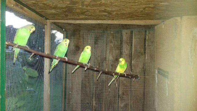 Papugi/ papużki faliste
