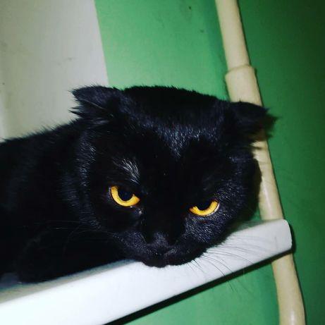 Вязка кошки вислоухая СРОЧНО!ищем жениха СТРАЙТ