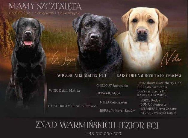 Labrador Retriever FCI ZKwP