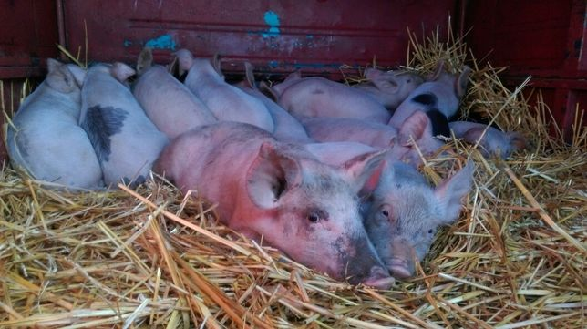 Поросята, кабаны, свиники, свиньи