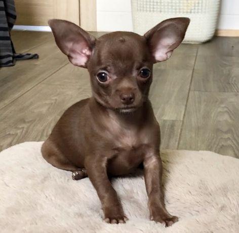 Девочка шоколадная чихуахуа