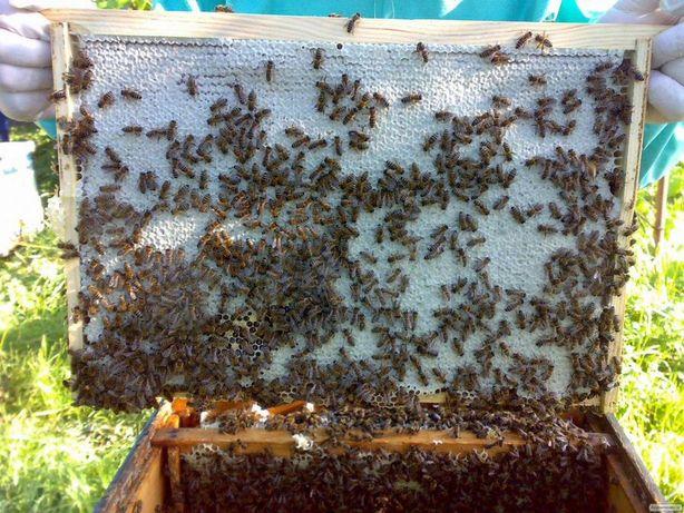 Пчеломатки Меченные Buckfast Австрия Отправим f1 2021 года
