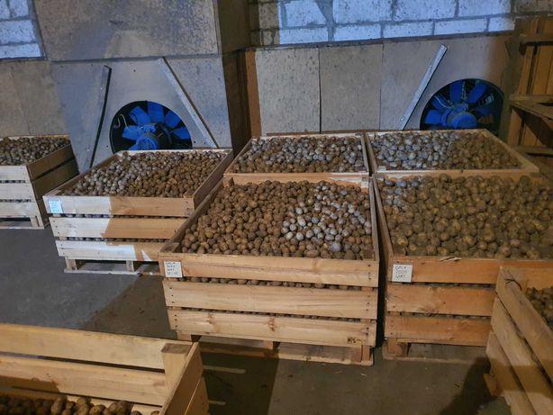 Sadzeniaki  GALA ,LILLY , QUEEN ANNE kalibracja 35 -45 mm