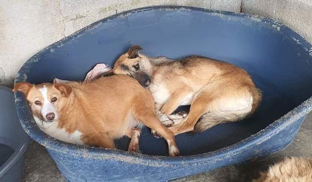 Kelly- cachorra de porte médio para adoção