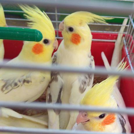 Папугаї  Корела, (Німфа).