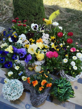 Bratki kwiaty stokrotki od producenta Tomice Wadowice z dostawą