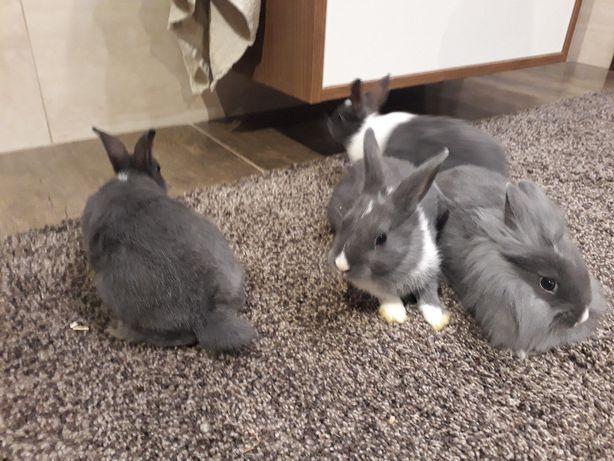 Sprzedam króliki karzełki