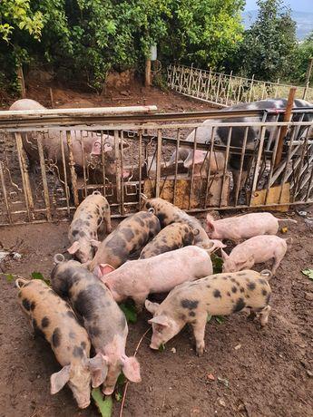 Vende-se porcos com 2 meses e 1 semana