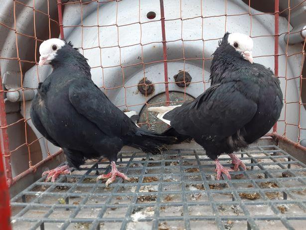 Mokka mokke mokki 2 pary parzyste ptaki gołębie ozdobne