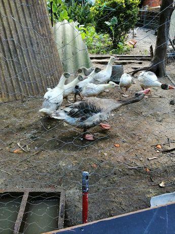 7 Patos Gansos com 2 Meses