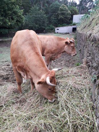 Vacas raça minhota