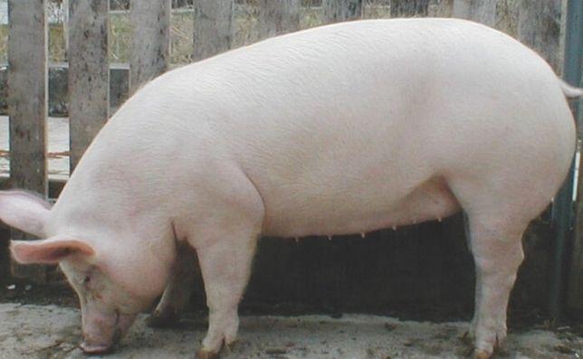Продам домашних свиней живым весом по 50 гривен