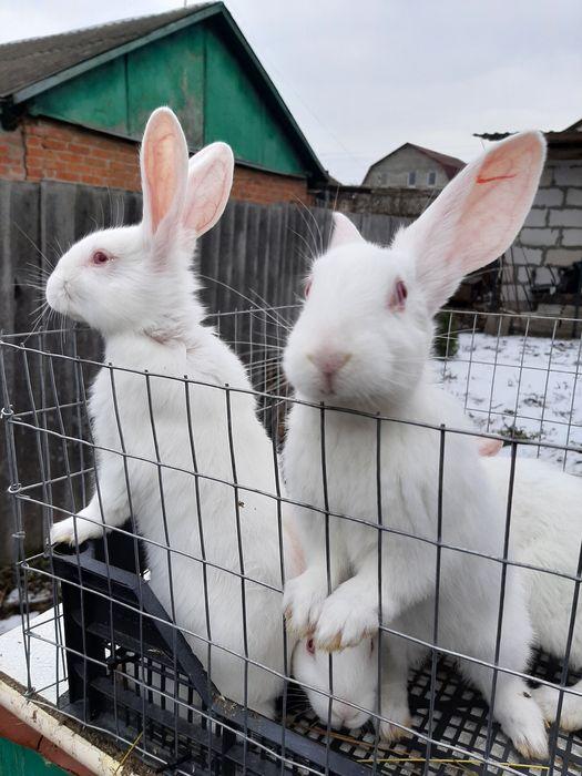 Продам кроликов термонская белая Харьков - изображение 1