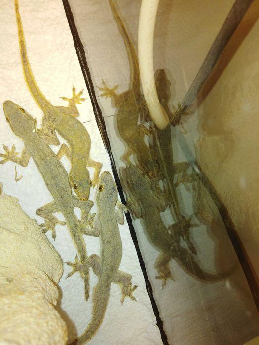 Gekon cziczak, gekon domowy, gekon, gekon zwyczajny Skierniewice - image 1