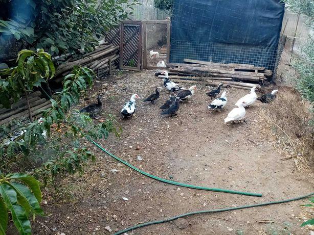Patos mudos criados no campo