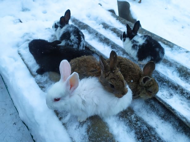 Кроленята великих порід