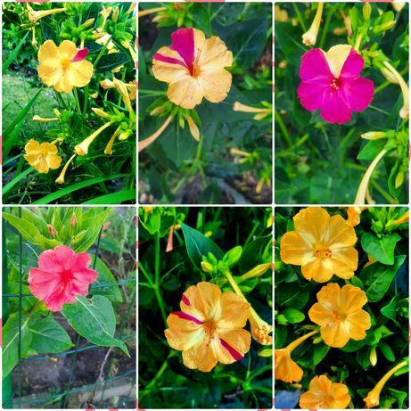 Nasiona kwiatów ,, Dziwaczek,,