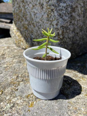 Suculenta Crassula tetragona - old forest bonsai