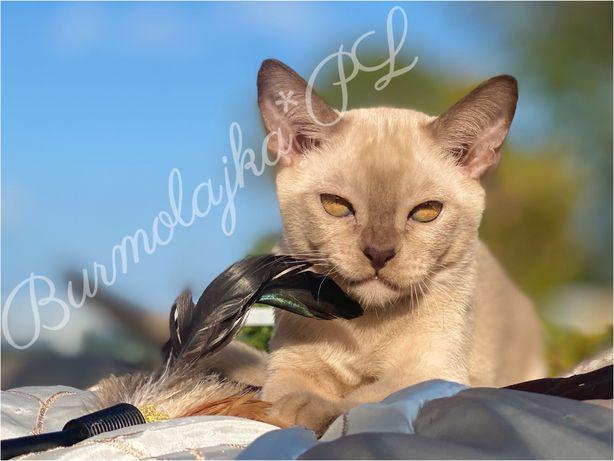 Koty burmskie/Kot burmski/burmese
