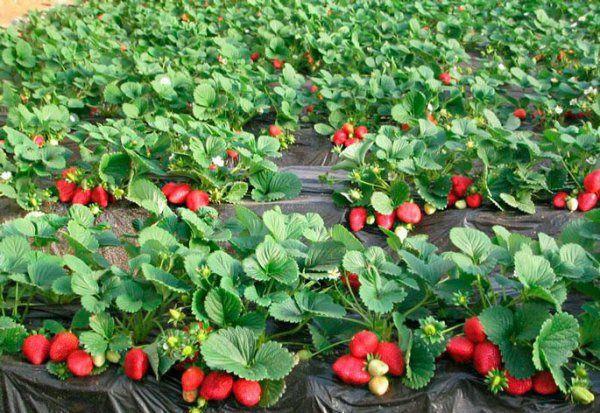 Продам  саджанці полуниці, саженци клубники