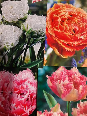 Тюльпани подвійні бахромчаті набір