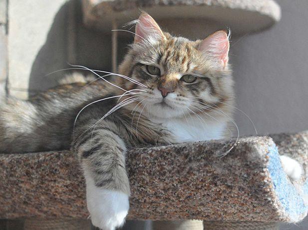 Чистокровный сибирский котик