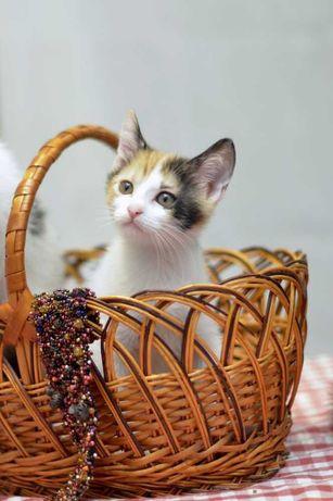 віддам кошенят, дівчинка, триколорна, 2 місяці