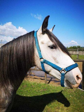 Cavalo luzitano russo