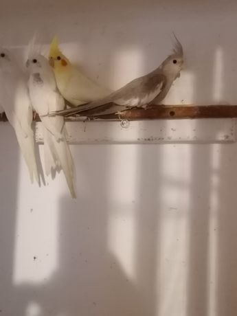 Nimfa nimfy papuga