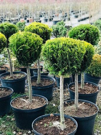 Bonsai Drzewa Formowane Cyprys IVONNE na Pniu KULA 40-50 cm Cena 150 z