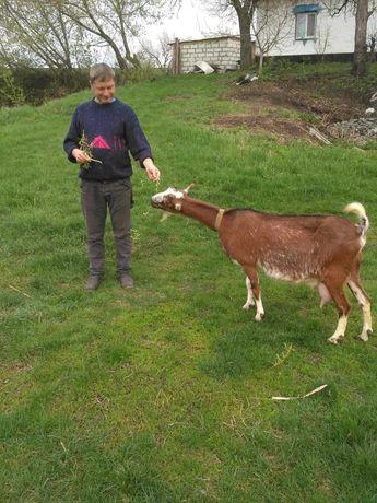 Продам шикарную козу