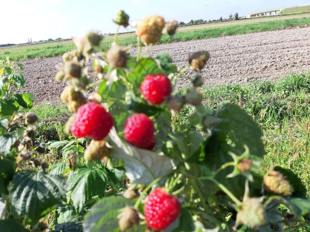 Owoce maliny ekologiczne z certyfikatem
