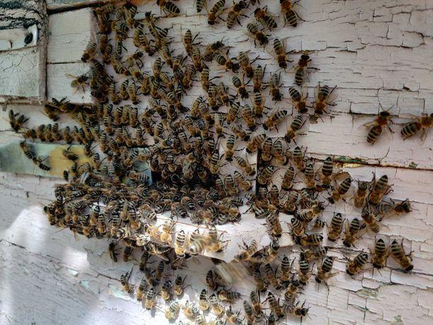 Продам семью пчёл 5шт