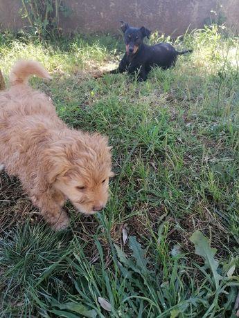 Dou cãozinho com 2 meses