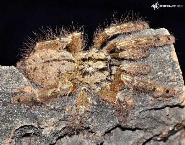 паук Stromatopelma calceatum L -6-7 самка