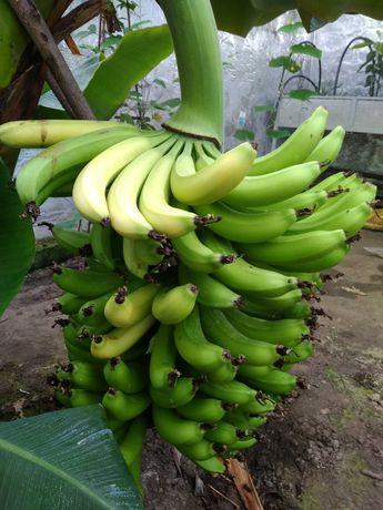 Продам саджанці бананів